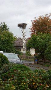 Baumbrut Weißstorch