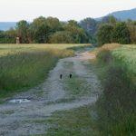 waschbaer-juv2013-06-26