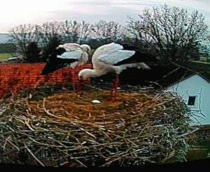 Merlin und Romy am Nest:da erste Ei ist gelegt