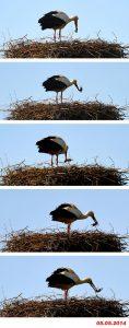 altvogel-nimmt-futter-wieder-auf-588x1501