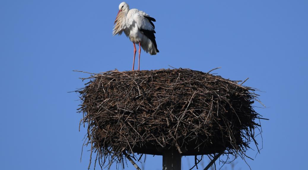 Pünktlich kehrt das vertriebene Storchenmännchen auf seinen Horst zurück