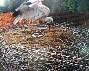 Trotz einer schweren Verletzung der Brutstörchin, sie konnte sich für mehr als 1 Woche nicht auf die Eier setzen, schlüpft der Nachwuchs