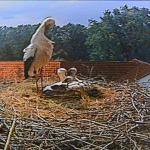 Die glückliche Storchenfamilie in Niedermöllrich