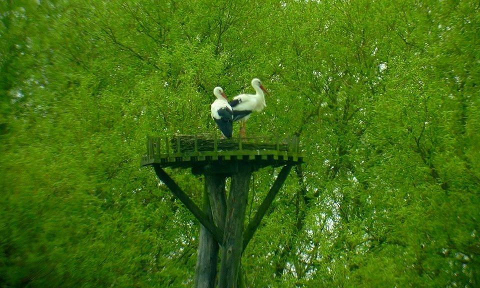 Der männl. Storch ist beringt DER AU ...