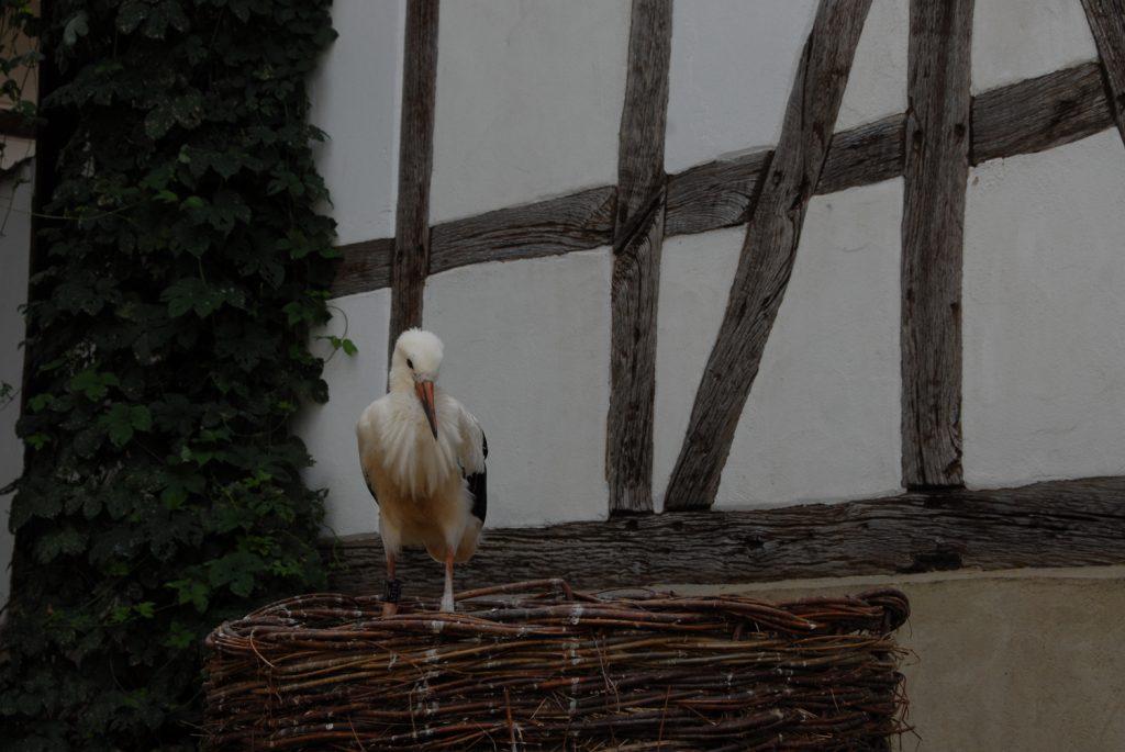 flügge wurde sie zum gleichen Zeitpunkt wie die im Horst verbliebenen Jungstörche