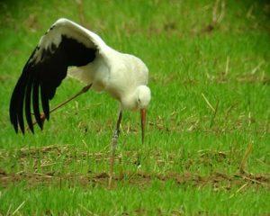 verletzter Storch auf einer Wiese. Er hielt sich dort über 2 Tage auf, eine aufmerksame Beobachterin informierte uns.